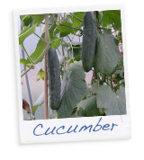 Know your Veg - Cucumber